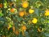 arance-sicule3